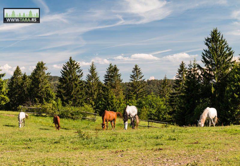 ergela-tara-jahanje-konja-kaludjerske-bare (1)